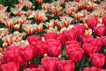 Red and white tulips, Keukenhof, the Netherlands