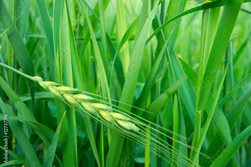 Wheat - 12737198