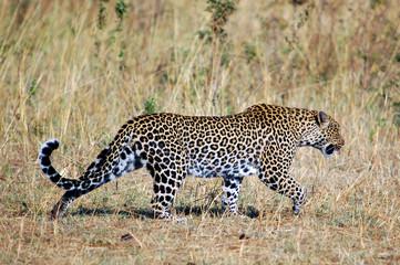 Leopard (Panthera Pardus) walking at Masai Mara