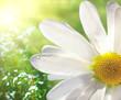 Quadro Wild daisy