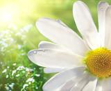 Wild daisy - 12750735