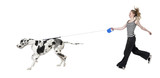 young girl walking her dog (Great dane 4 years) harlequin Great poster