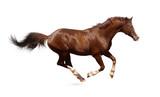 Brown trakehner stallion poster