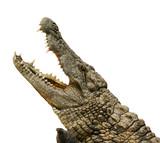 Fototapety Alligator freigestellt