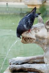 Colombo che beve ad una fontana