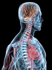 vasculäres system des menschen
