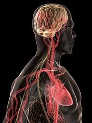 menschlicher körper mit blutkreislauf und nerven system