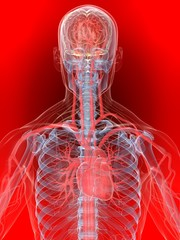 menschlicher körper mit vaskulärem system