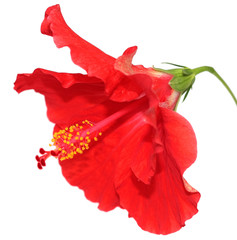 fleur rouge d'hibiscus sur un fond blanc