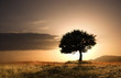 Quadro solitary oak tree in golden sunset