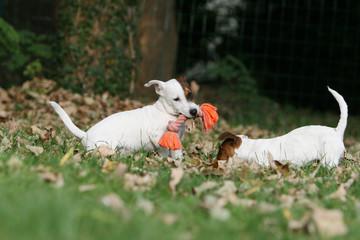 deux chiots jack russel terrier jouant dans le jardin