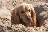 cocker anglais dans le sable poster