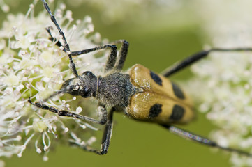 eating beetle