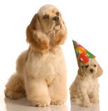 cocker spaniel puppy wearing birthday hat poster