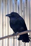 Black raven. poster