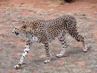side view cheetah