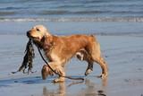 cocker spaniel marchant sur la plage poster