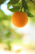 Ripe orange fruit on a tree