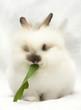 Leinwandbild Motiv Fluffy rabbit eats green leaf