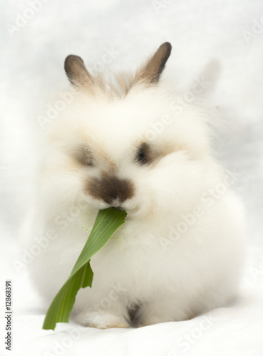 Leinwanddruck Bild Fluffy rabbit eats green leaf