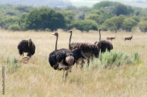 Fotobehang Struisvogel Wild Ostrich