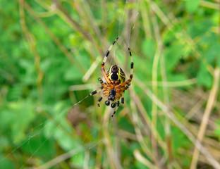 Spider 22