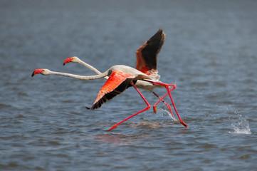 Lesser Flamingo running on the water at lake Naivasha, Kenya