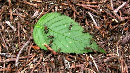 Ants on leaf