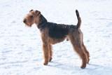 Welsh terrier on snow poster