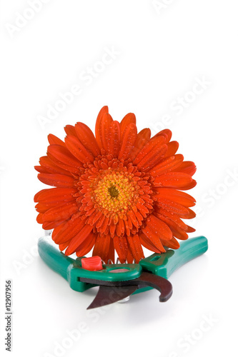 Red gerbera and green clipper