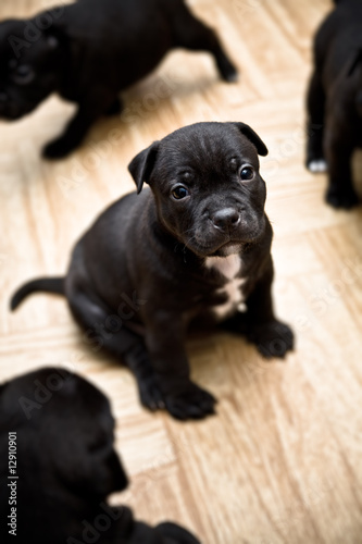 Sitting Staffordshire Bull Terrier puppy - 2 weeks