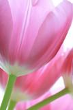 ピンクのチューリップ - 12912336