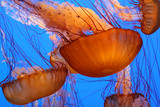 Fototapeta Jellyfish - Medusa