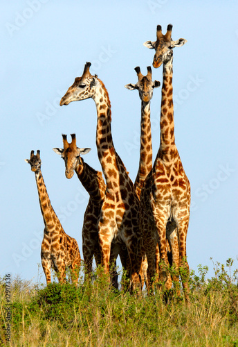 Tuinposter Giraffe Family of giraffes