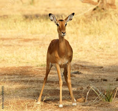 Fotobehang Overige Female Impala