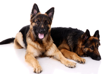 Two german shepherds on a white background.