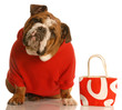 expensive dog - bulldog in red sweater with matching purse