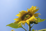 A fresh yellow sunflower in summer with a vibrant  blue sky poster