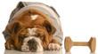 training a stubborn dog - bulldog refusing do obedience