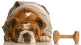 training a stubborn dog - bulldog refusing do obedience poster