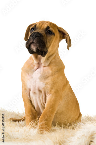 Bull Mastiff puppy isolated on a white background