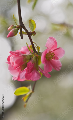 canvas print picture Japanese apple flowers