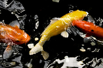 Colorful koi feeding