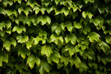 Ivy hedge