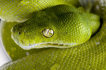 green tree python - Morelia viridis (5 years old)