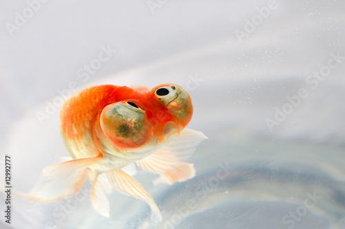 Photo poisson rouge for Tarif poisson rouge