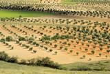 Olivenhain - olive grove 15 poster