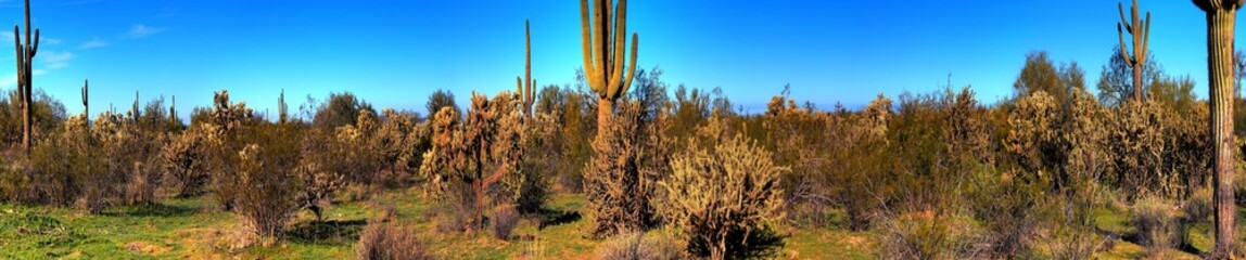 Desert Saguaro Cactus Panorama