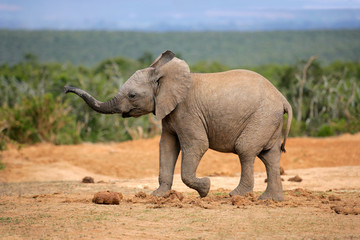 Young African elephant, South Africa