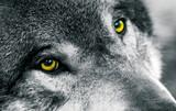 Fototapete Grauwolf - Wald - Säugetiere